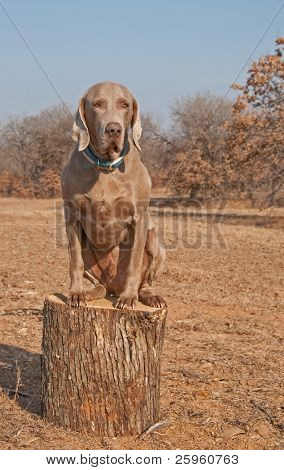 poster of Comical image of a big Weimaraner dog sitting on top of a log like a cat