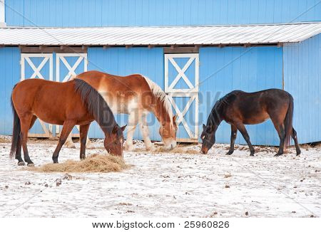 Three horses eating hay on a cold winter day in front of a blue barn poster