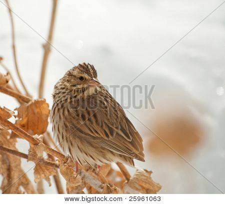 Savannah Sparrow, Passerculus sandwichensis, perched on a dry flower stalk with snowy background poster