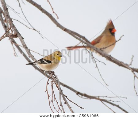 American Goldfinch, Spinus tristis, in its winter plumage, perched on a Persimmon tree, with a female Northern Cardinal on background