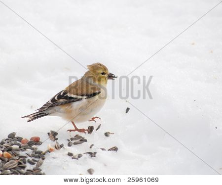Beautiful American Goldfinch peeling a sunflower seed in its bill, on snow