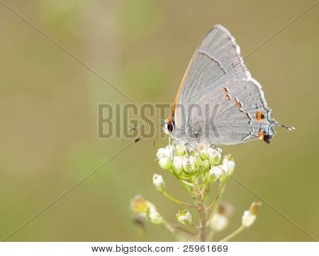 Tiny, delicate Gray Hairstreak butterfly feeding on a spring flower against green background