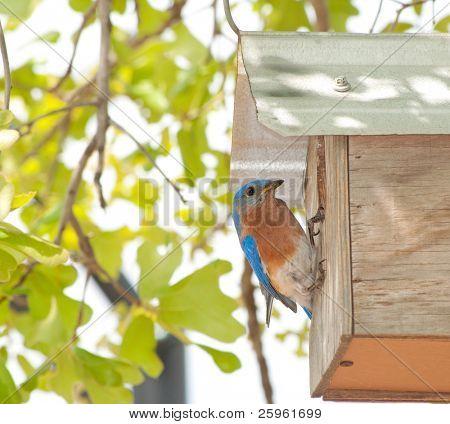 Eastern Bluebird, Sialia sialis, at the nest box poster