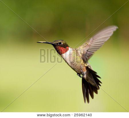 Ruby-throated Hummingbird male in flight