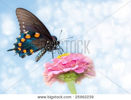 Dreamy image of a Green Swallowtail on a pink Zinnia