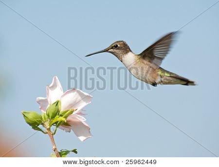 Young Ruby-throated Hummingbird in flight