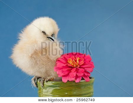 Fluffy Easter chick sitting in a small flower pot with a bright pink Zinnia flower against blue background poster