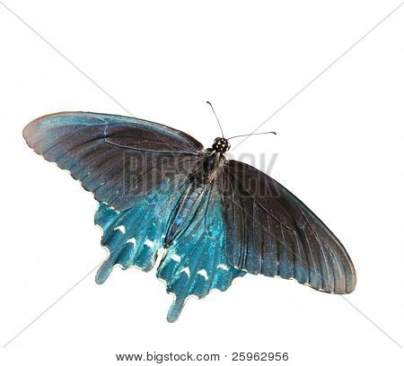 Dorsal view of a Green Swallowtail butterfly, isolated