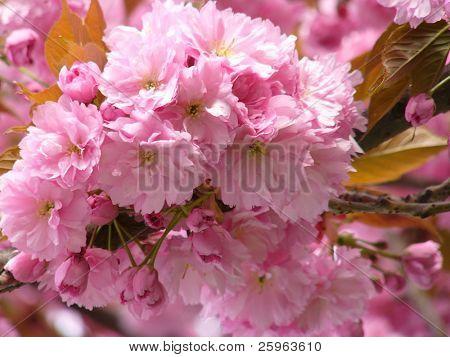 Prunus yedoensis or Japanese cherry-tree