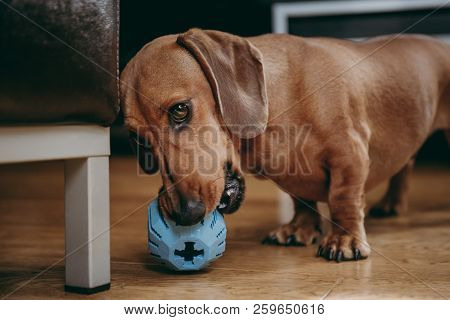 Smooth Brown Miniature Dachshund Playing With A Rubber Toy On The Floor At Home.