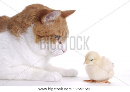 Cat Starring At Baby Chick