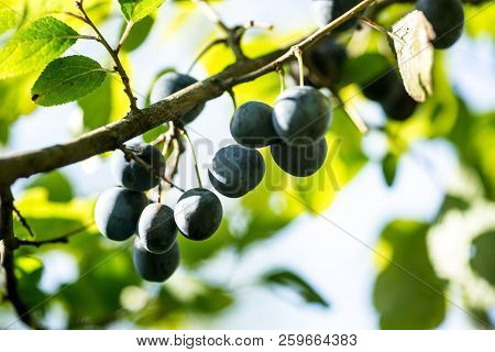 Blue Blackthorn Fruits On Branches In Garden