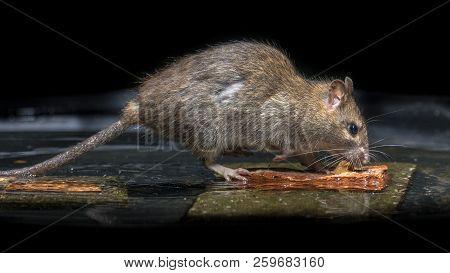 Wild Brown Rat (rattus Norvegicus) Feeding On Stones In Water Of River