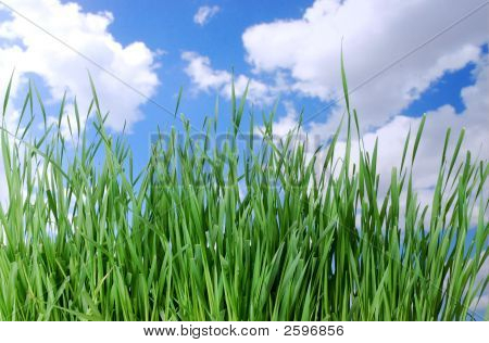 Tall Grass Against A Blue Sky