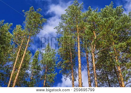Tops Of Pines Against The Blue Sky. Crowns Of Coniferous Trees On A Clear Day Against The Clear Sunn