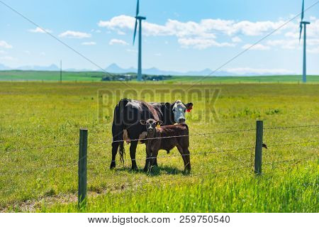 Beef Cattle Grazing In A Pasture Under The Shadow Of A Windmill Farm In The Foothills Of The Rocky M