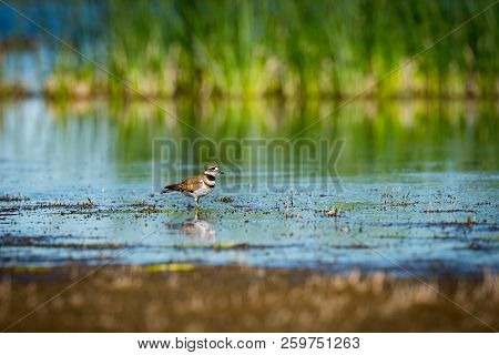 Killdeer Wading In Prairie Pond In The Summertime