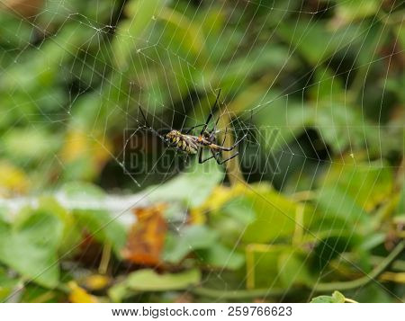 This Spider Is One Of Three Types That Is Called A Banana Spider. The Only Poisonous One Is From Bra