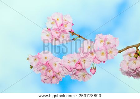 Cherry blossoms in the city Park. Pink Sakura Blossoms in Central Park Landscape
