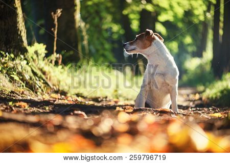 Pretty jack russel terrier dog on autumn alley. Animal photography