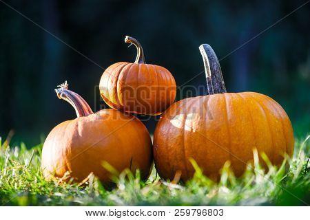 Different kind of pumpkins in garden grass. Halloween and autumn background