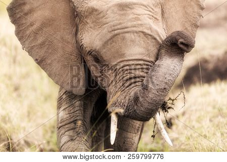 Portrait of a young African elephant feeding on vegetation and grasses in the Masai Mara, Kenya.