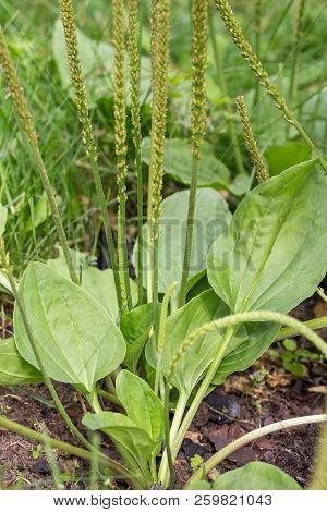 Plantain flowering plant with green leaf. Plantago major broadleaf plantain, white man's foot or greater plantain poster
