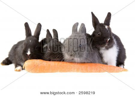 Four Bunny And A Big Carrot
