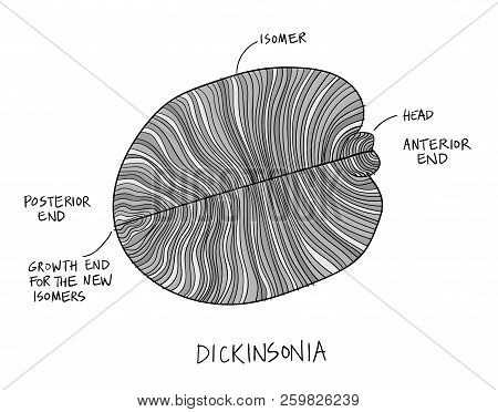 Dickinsonia Fossil Illustration. Ancient Fossil From The Ediacaran Period Sketch With Ink In Black A