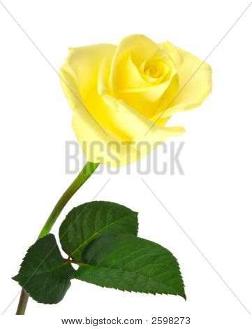 Yellow Rose Over White