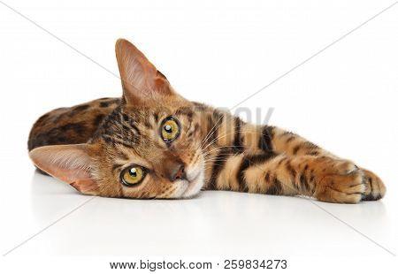 Bengal Kitten Resting On White Background. Baby Animal Theme