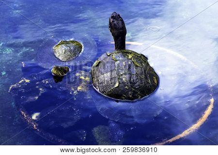 Cuban Slider (trachemys Decussata), Turtle Native To Cuba - Peninsula De Zapata National Park / Zapa