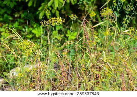 Blurred Grass, Meadow Flowers, Flora On Lawn In The Park, Garden. Summer, Summertime Landscape. Foli