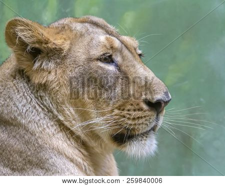 Sideways Shot Of A Lion Head In Front Of Green Back