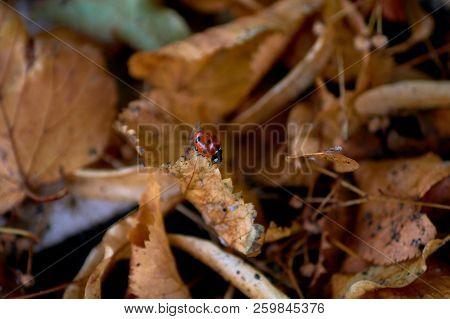 Ladybug Walking On The Autumn / Fall Leaves.