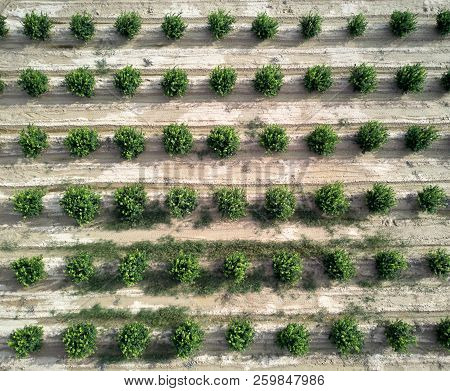 Aerial Photography, Directly Above Of Green Bushes Orange Trees Rows. Agricultural Fields, Cultivate