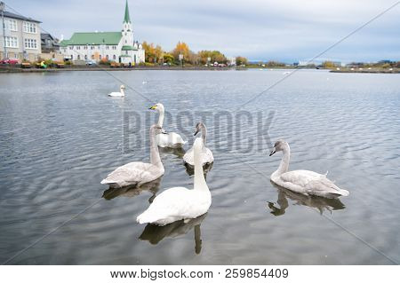 Swans In Pond In Reykjavik Iceland. Swans Gorgeous On Grey Water Surface. Animals Natural Environmen