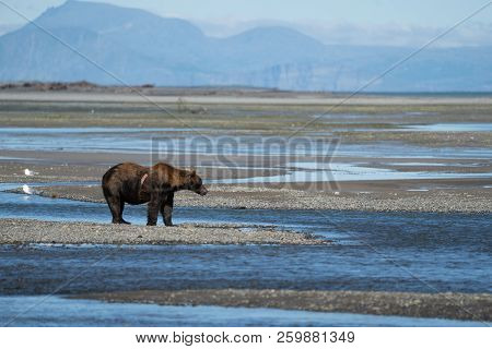 Wounded Injured Alaskan Coastal Brown Bear Grizzly Searches For Fish In A River In Katmai National P