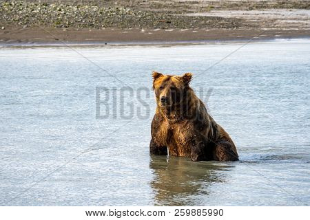 Alaskan Coastal Brown Grizzly Bear Sits In Water As He Fishes For Salmon In Katmai National Park