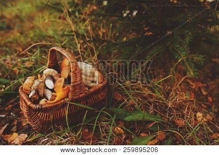Picking Wild Mushrooms In Autumn Forest. Basket Full Of Mushrooms, Lifestyle Shot.