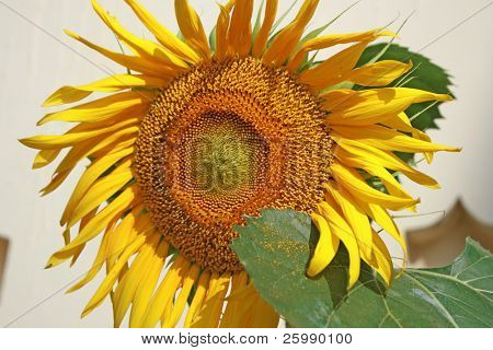 beautiful sunflower against wall with , india