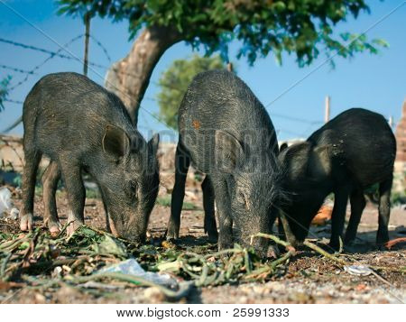 Three black piglets are eating outside, India poster
