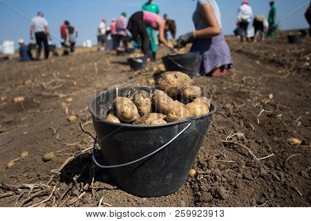 Close Up Of Potatoes In Bucket In Field With Of Group Of Peasants Working In Background