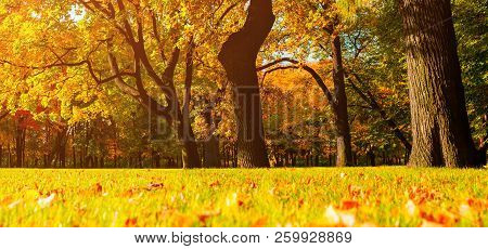 Autumn trees with yellowed foliage in sunny autumn October park lit by sunlight. Colorful autumn landscape, panorama of autumn park in sunny autumn weather