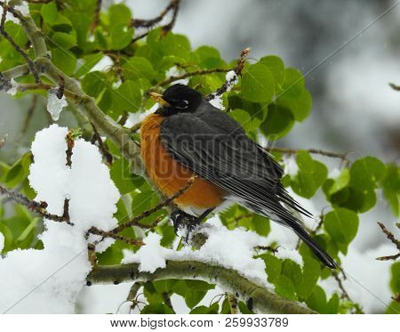 Side View Of A Robin Pearched On A Snow Covered Branch.