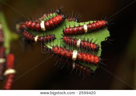 Baby Orange Butterfly Larvae