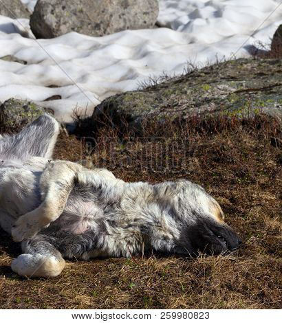 Dog Sleeping On Dried Grass Near Snowfield At Sun Spring Day. Close-up View.