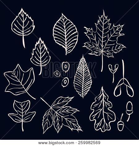Vector Set Of Stylizes Outline Tree Leaves. Contour Oak, Maple, Birch, Acorn, Elm, Beech, Tulip Tree