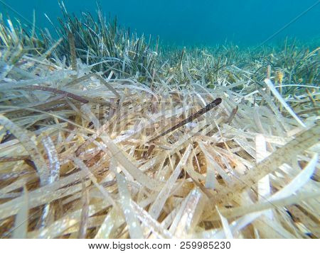 Under The Sea Water With Mediterranean Seagrass , Posidonia Oceanica