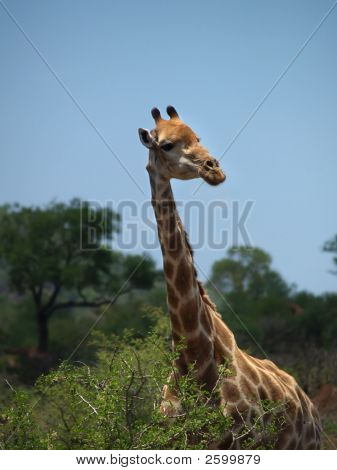 Giraffe Against African Sky